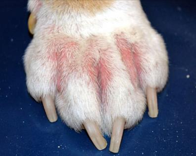 2012-08-12-060816-skin-problems-in-dogs-s2-dogs-paw-with-allergy.jpeg